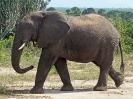 afrikanischer-elefant-108