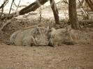 Warzenschwein, KNP, Südafrika, Oktober 2011