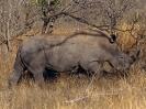 Breitmaul-Nashorn, Südafrika 2002