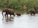 Afrikanischer Elefant, Südafrika 2011