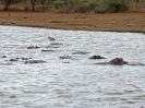 Flusspferd, KNP, Südafrika, Oktober 2011