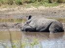 Breitmaul-Nashorn, Südafrika 2011