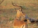 Impala, KNP, Südafrika, Oktober 2011