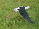 black-winged-stilt-01