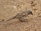 Grey-headed Sparrow - KNP - Suedafrika - Oktober 2011 - 03
