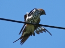 Lesser Striped Swallow - White River - Suedafrika - November 2011 - 02
