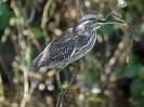 mangrovereiher-02