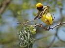 Southern Masked Weaver - KNP - Suedafrika - Oktober 2011 - 02