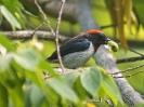 Black-fronted Flowerpecker, Labuan Bajo, Flores, Kleine Sundainseln, Indonesien, August 2018