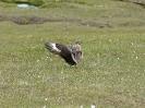 Große Raubmöwe / Skua, Hermaness RSPB, Unst, Shetland Islands, Juli 2015 - Imponierverhalten am Boden. Hochgereckte Flügel, begleitet von lautem Rufen.