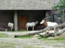 saebelantilope-04_20121003_1136378482