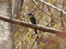 blue-crowned-motmot-03