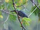 Green-backed Heron - Panama Rainforest Discovery Center - Maerz 2013 - 01