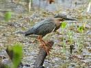 Green-backed Heron - Panama Rainforest Discovery Center - Maerz 2013 - 03