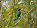 Green Violet-ear - Guadalupe - Panama - Maerz 2013 - 07