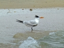 Royal Tern - Boca del Drago - Isla Colon - Panama - Maerz 2013 - 04