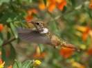 Scintillant Hummingbird - Boquete - Panama - Maerz 2013 - 04