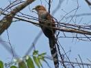 Squirrel Cuckoo - Panama Ctiy - Panama - Maerz 2013 - 05