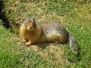 columbia-ground-squirrel-07
