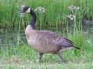 canada-goose-02_20120105_1831469442