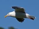 western-gull-01_20120105_1637596544