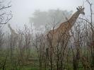 Giraffen im Nebel, 25. Oktober 2011 - Krüger National Park, Südafrika