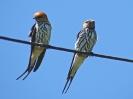Lesser Striped Swallow, 4. November 2011 - White River Lodge,  White River, Mpumalanga, Südafrika