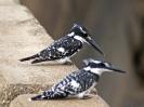 10-25_n_-_pied-kingfisher_20111124_1151929093