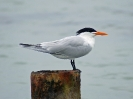 Royal Tern - Boca del Drago - Isla Colon - Panama - Maerz 2013 - 01