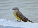 Tropical Kingbird - Panama City - Panama - Maerz 2013 - 01