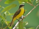 Sociable Flycatcher - Panama City - Panama - Maerz 2013 - 01