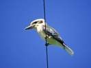 Kookaburra, Atherton Tablelands, Queensland, August 2001