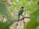 blue-crowned-motmot-01
