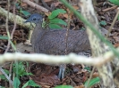 great-tinamou-02
