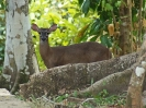 white-tailed-deer-01