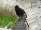 red-vented-bulbul-01