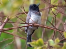 grey-headed-bulbul-01