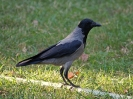 hooded-crow-02