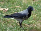 hooded-crow-03