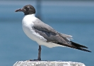 laughing-gull-02_20120105_1551170288