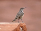 Rock Wren, Canyon de Chelly National Monument, Navajo Nation, Arizona, Juli 2014