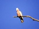 Galah, Alice Springs, Northern Territory, Juli/August 2001