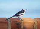 african-wagtail-01