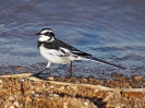 african-wagtail-02