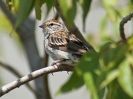 chipping-sparrow-03