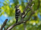 downy-woodpecker-01