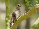 laughing-dove-01