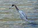 little-blue-heron-04