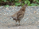 ruffed-grouse-02