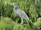 tricolored-heron-06